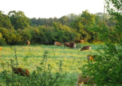 vaches à la Perrière